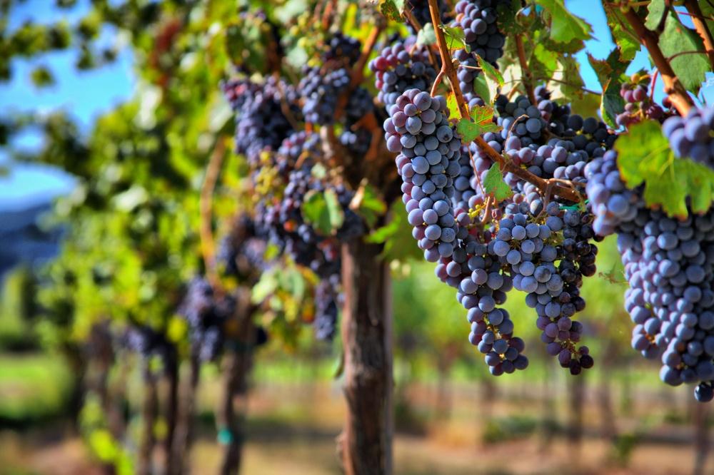 Vino biologico caratteristiche