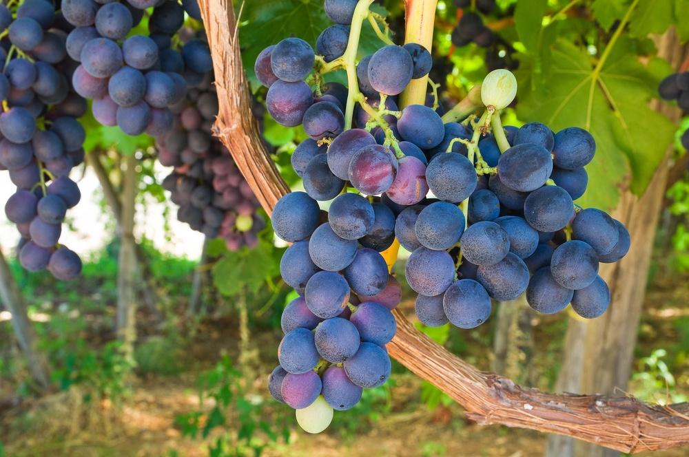 Vini-Pugliesi-territorio
