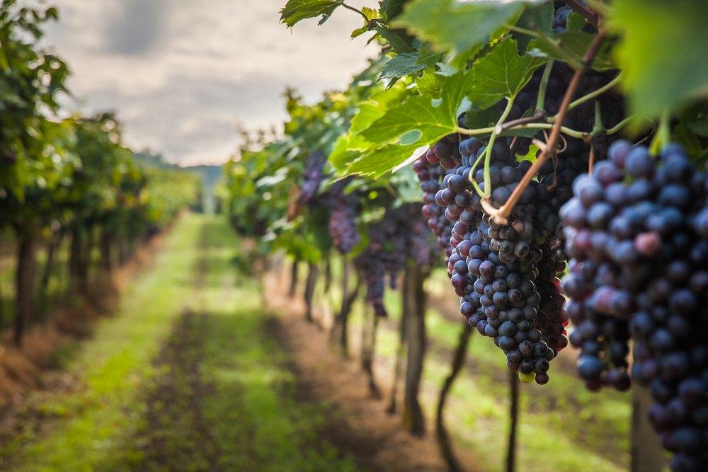 Vino vegano produzione